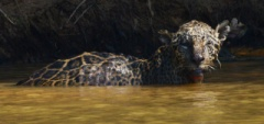 Jaguar in the river