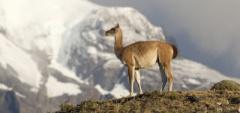 Guanaco - Torres del Paine