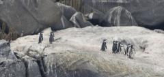 Humboldt Penguins - Valparaiso