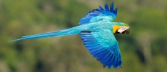 Blue-and-yellow Macaw, Amazon Rainforest