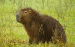 A wildlife bonanza - Capybara