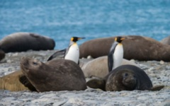 Elephant seals and penguins on the beach