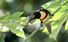 Arcari - Brazilian Amazon