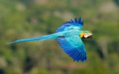 Blue and Gold Macaw -Brazilian Amazon